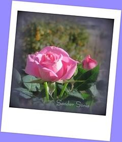 20190424-rose.jpg