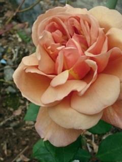 20190427-rose-3.jpg
