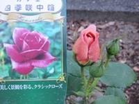 20190427-rose.jpg